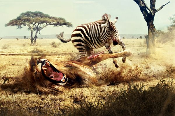 zebras and lions - photo #23