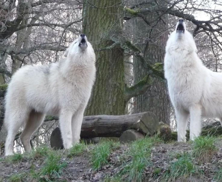 White wolves howling!