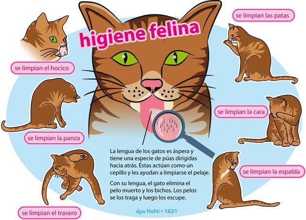 En infografía: conozca cómo se asean los gatos