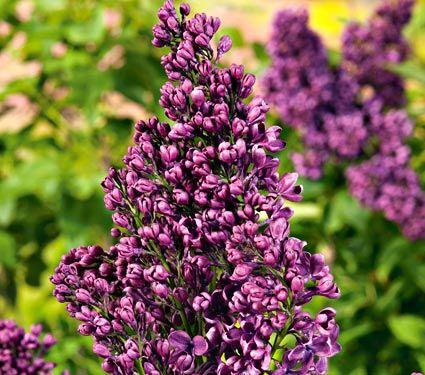 Syringa vulgaris 'Yankee Doodle' Lilac - White Flower Farm