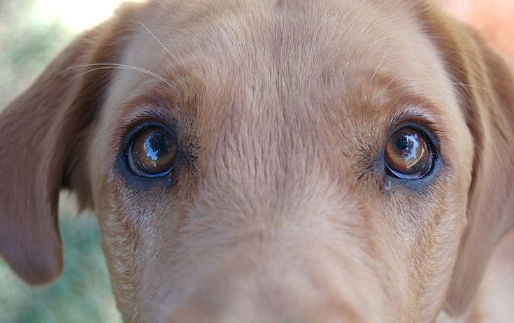 Dog with Goopy Eyes? A Totally Natural Remedy!