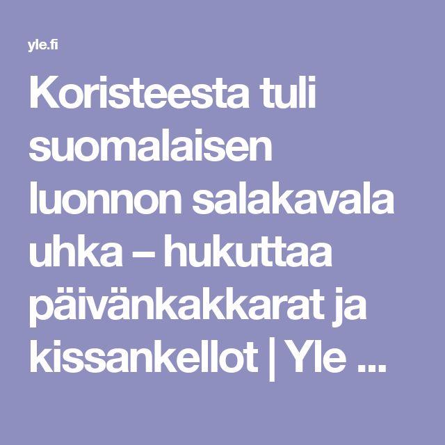 Koristeesta tuli suomalaisen luonnon salakavala uhka – hukuttaa päivänkakkarat ja kissankellot | Yle Uutiset | yle.fi