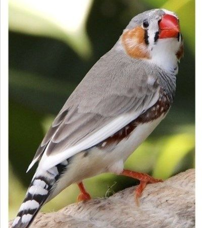 "Pied Zebra Finches for Sale at www.thefinchfarm.com, CLICK ""VIEW CONTACT INFO"" to the left!  The wonderful Pied Zebra Finch adds excitement to any aviary. It is a favorite to Zebra lovers everywhere. Originating in Australia, this wonderful bird has become the most common household finch in the United States. These species are hardy and relatively easy to care for, so are an excellent choice for the new owner. *Available in Male and Female without DNA testing required…"