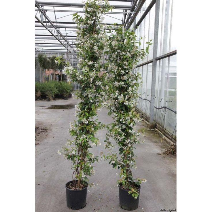 1000 ideas about trachelospermum jasminoides on pinterest star jasmine vine jasmine plant. Black Bedroom Furniture Sets. Home Design Ideas