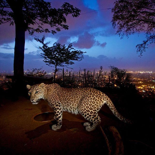 """WEBSTA @ natgeo - @natgeo @stevewinterphoto @natgeowild """"If you show the viewers something they have never seen before they they actually look at it!"""" Nat Geo Wild tonight @9pm! Leopards at the Door - Watch or set your DVR""""s!!! Sanjay Gandhi National Park (SGNP) in Mumbai India is a jewel of the world. Mumbai can show the world the way forward in living with large cats! As there is no other place like it on the planet.SGNP is more proof that we humans live with majestic animals in urban…"""