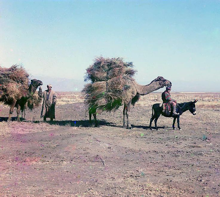 Camel caravan carrying thorns for fodder, Golodnaia Steppe; between 1905 and 1915 Sergei Mikhailovich Prokudin-Gorskii Collection (Library of Congress).