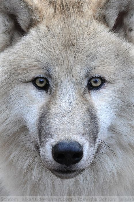 Young Arctic Wolf (Canis lupus arctos; Polar Wolf, White Wolf) - Zoo Vienna (Tiergarten Schönbrunn), Austria
