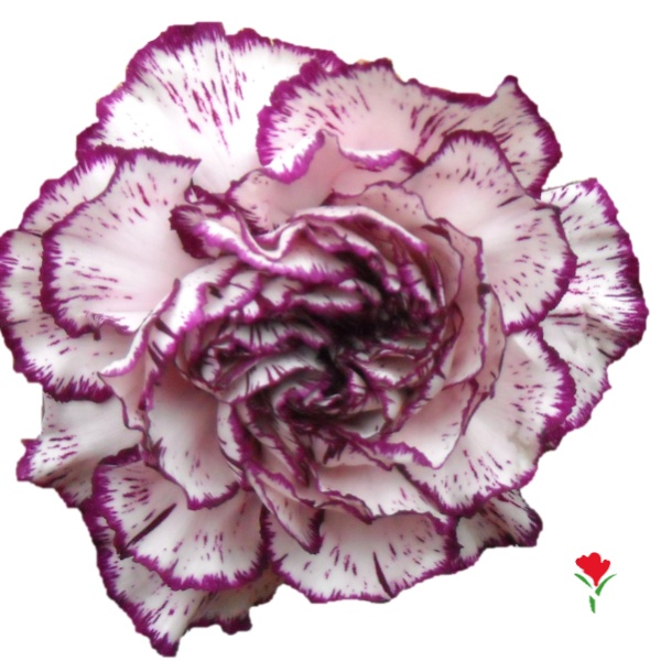 Bicolor Purple Carnation from Flores Funza. Variety: Bilbao. Availability: Year-round.