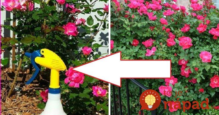 Tento domáci sprej používam každý rok na moje ruže. Je to výborná ochrana pred chorobami, voškami, múčnatkou, čiernymi škvrnami a ďalšími škodcami. A čo je najlepšie, ruže vďaka nemu krásne kvitnú počas celej sezóny.
