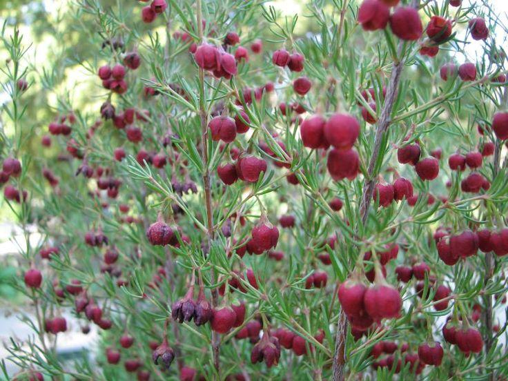 Boronia Megastigma Rutaceae Chocolate Summer Flowersthe