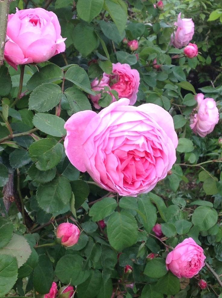17 best images about rose rosier on pinterest gardens. Black Bedroom Furniture Sets. Home Design Ideas