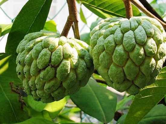 Sugar Apple - é nativa das Américas tropicais, mas também é amplamente cultivada no Paquistão, Índia e Filipinas. O fruto parece um pouco com uma pinha, e são cerca de 10 cm de diâmetro. Sob a pele dura, irregular é o perfumado carne, esbranquiçada do fruto, que abrange várias sementes dentro, e tem um leve sabor de creme.