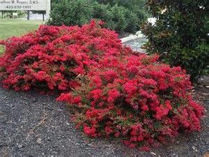 Image result for dwarf crepe myrtle bushes