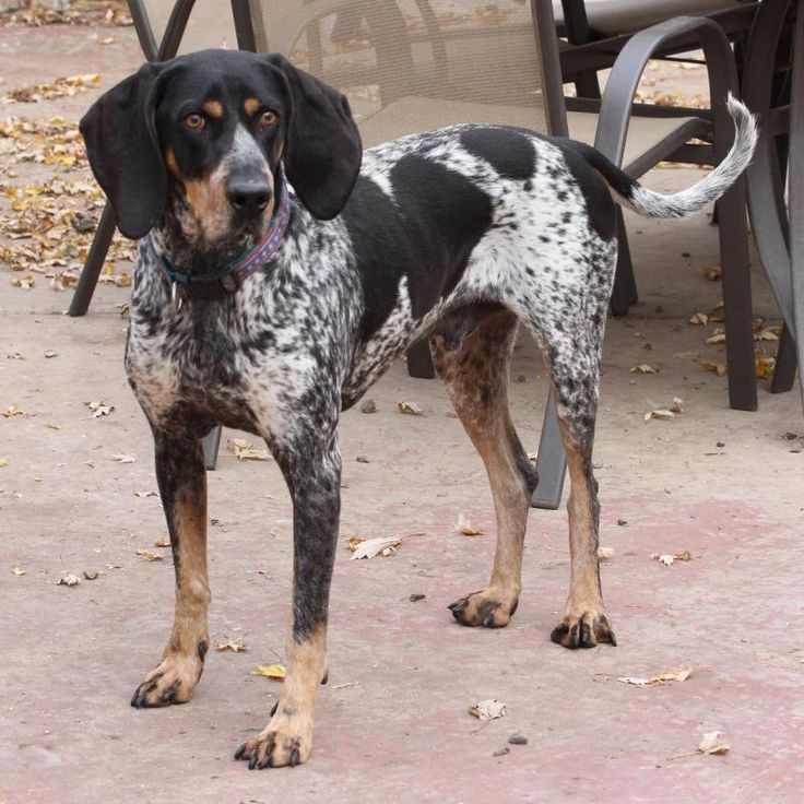 Jackson is an adoptable Bluetick Coonhound searching for a forever family near Faribault, MN. Use Petfinder to find adoptable pets in your area.