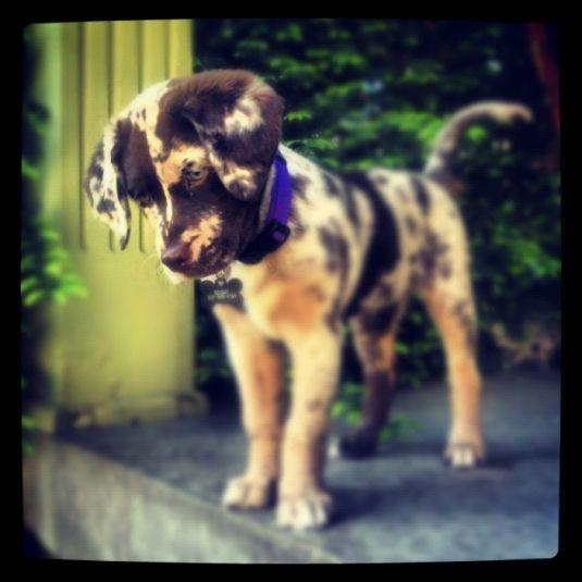 A chocolate ausidor - chocolate lab + Australia cattle dog