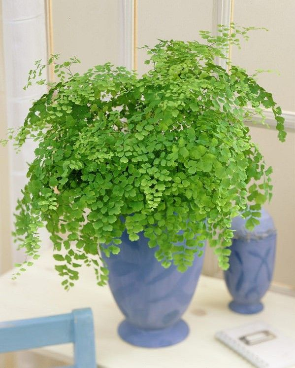 Adiantum raddianum.  When it comes to ferns that are popular, maidenhair fern is one you should consider. Its dark and glossy leafstalk resembles human hair.  Be sure to water frequently and keep this houseplant in indirect sun.
