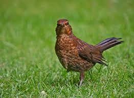 blackbird - Google Search