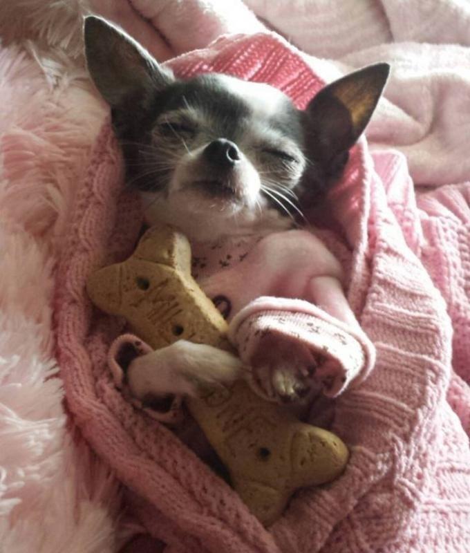 Los chihuahuas más adorables del Internet