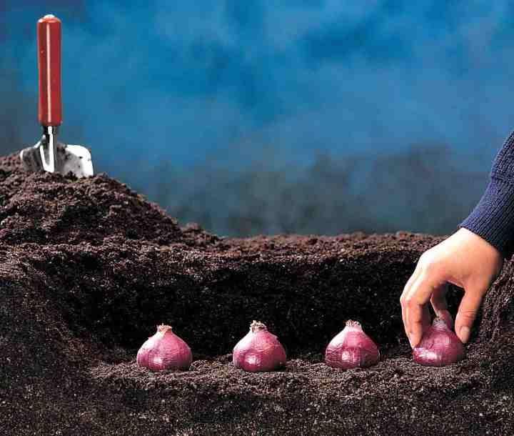 Tulipes, jacinthes, narcisses, crocus: les jardineries en vendent à la pelletée chaque automne. Et leur culture est super facile. Mais si c'est votre première fois, voici quelques conseils: Quand? …