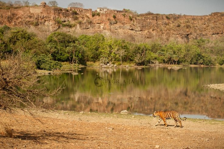 Symbols of Ranthambhore - For more information about tigers follow me on www.tiger-and-me.com