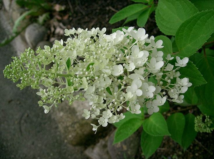 39 best ideas about hydrangeas paniculata on pinterest. Black Bedroom Furniture Sets. Home Design Ideas