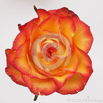 A beautiful orange rose with clear background