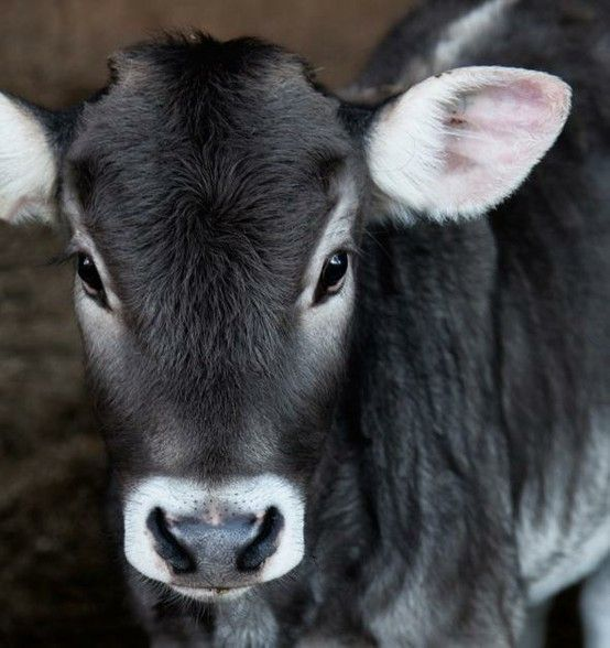 A beautiful baby cow with grey fur staring towards the camera. What a sweet little face!