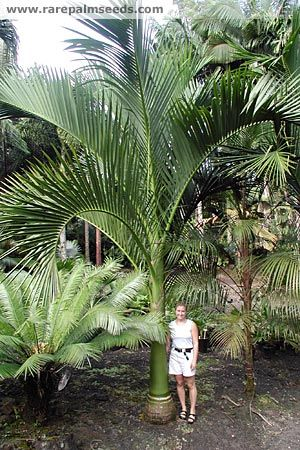 17 Best Images About Palms Amp Cycads On Pinterest Foxtail
