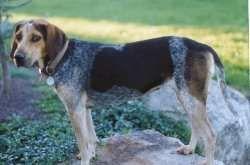 blue tick hound photo | Redtick Coonhound) (American English Coonhound)