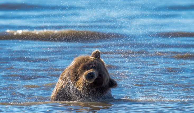 A brown bear shakes off excess water while fishing in the waters of Cook Inlet, just off Silver Salmon Creek.  These waters are cold even on a good day but brown bears don't seem to mind at all.  The fish they consume will help them survive the long frigid winter ahead.  This photo is from my 2013 archive.  Definitely missed seeing these furry friends this year.   #ILoveWildlife #ILoveNature #ILoveBears #WildlifePhotography in #Alaska #Nature #Bears #CoastalBrownBears #Photography #Picoft...