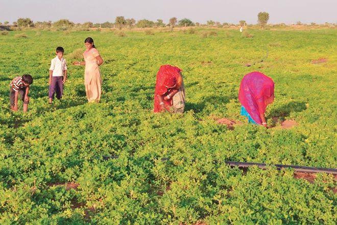 Monsoon gifts dry Rajasthan bumper Kharif crops : India, News ...