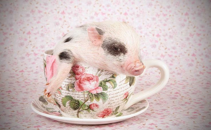 Never Buy a Teacup Pig - http://modernfarmer.com/2014/03/never-buy-teacup-pig/?utm_source=PN&utm_medium=Pinterest&utm_campaign=SNAP%2Bfrom%2BModern+Farmer