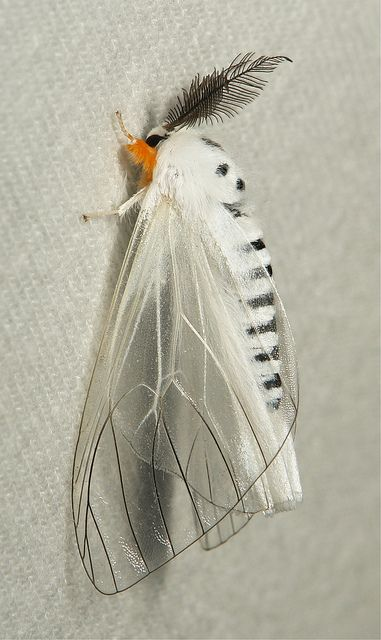 Clearwing Tussock Moth (Lymantriinae)
