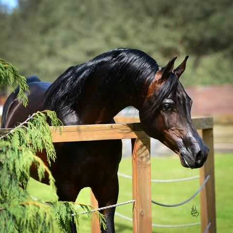 Etnodrons Psyche. 2003 Russian/Polish related black/brown stallion. Padrons Psyche {Padron x Kilika by Tamerlan} x Etnografia {Aloes x Etazerka by Bandos}