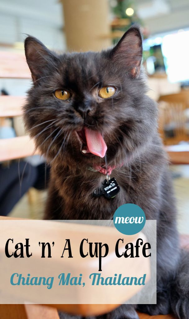 Cat 'N' a Cup Cafe in Chiang Rai, Thailand | The Bug That Bit Me