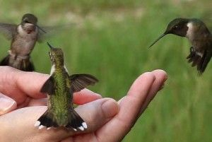 How to Attract Hummingbirds to Your Garden -- great info for Juniors earning the Gardener badge and/or doing the Get Moving Journey (check out how much energy hummingbirds use!)