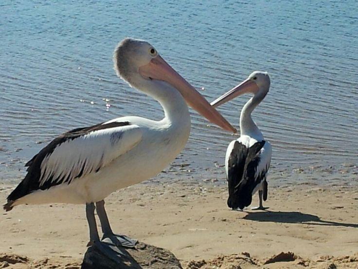 Pelicans on Lake Illawarra