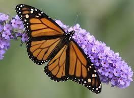 Resultado de imagen para Mariposa monarca