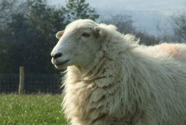 The National Trust in Wales is looking for a shepherd for a  Snowdon conservation project
