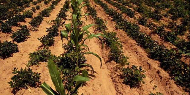 China leads the way: Intercropping for ecological and economic efficiency in agriculture -- Corn with various legumes, and some other combos AG313 Hall