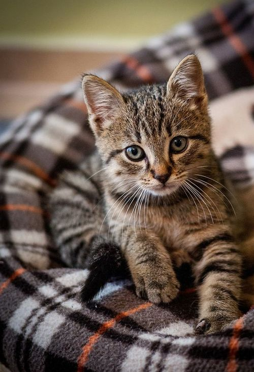 **[CAT SNIP: The tabby coat affords the widest variety of colors. Besides black, brown, grey, and cream; the tabby pattern offers a palette of red hues that include ginger and marmalade.