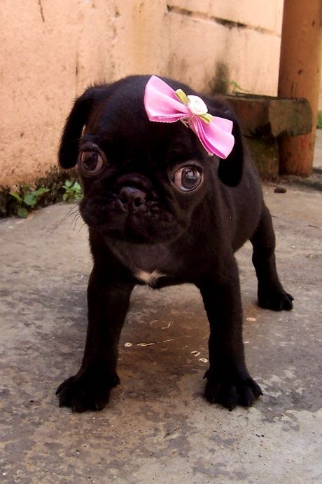 Black Puppy Pug Girl With Pink Bow  Pugs  Pugs, Cute -4271