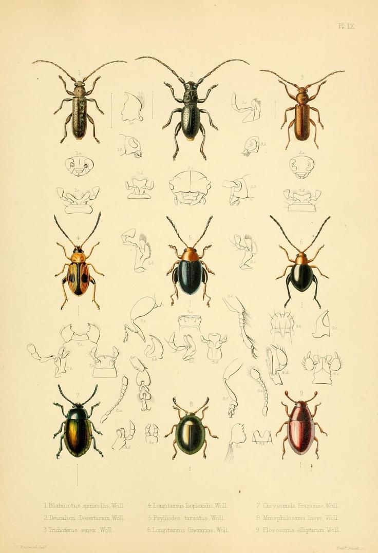 Various beetles. Insecta maderensia: being an account of the insects of the islands of the Madeiran group  London,J. Van Voorst,1854.  Biodiversitylibrary. Biodivlibrary. BHL. Biodiversity Heritage Library