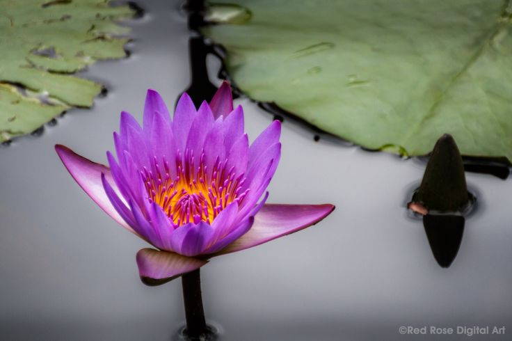 Purple Water Lily. A purple water lily with a bright gold heart. Photographed by #redrosedigitalart. From http://www.redrosedigitalart.com