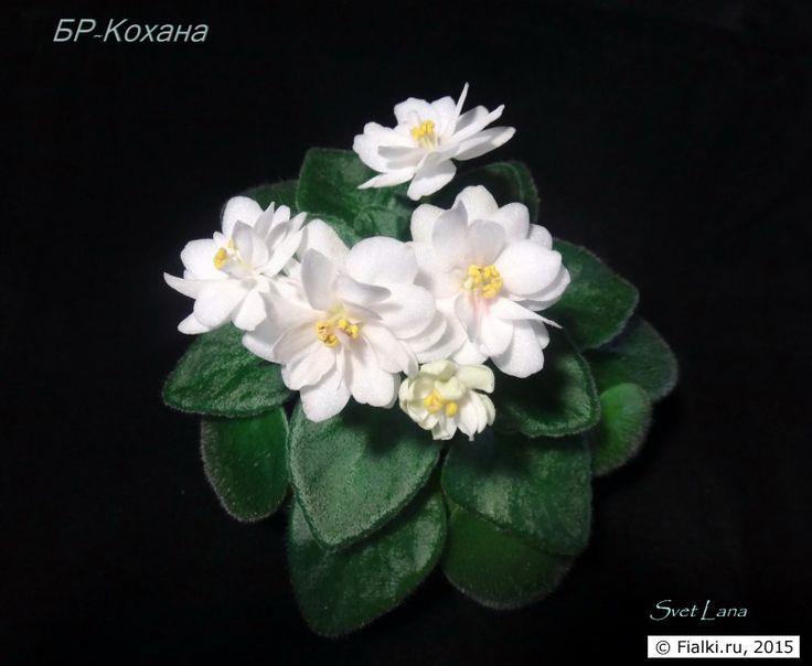 БР_Кохана