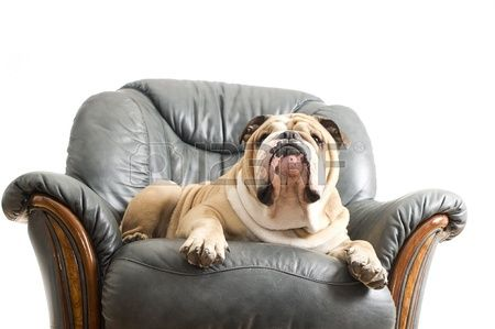 Happy lazy dog English Bulldog on a leather armchair sofa
