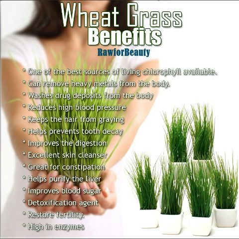Wheat Grass Benefits -however Dr. Mercola will say that Wheat Grass is not something to be taken regularly (more as a medicine- and need to be careful of how it's grown (sprouted only once and molds easily), and says he believes sprouts (sunflower and pea) to be very beneficial for every day use (juicing/smoothies) and have similar benefits.