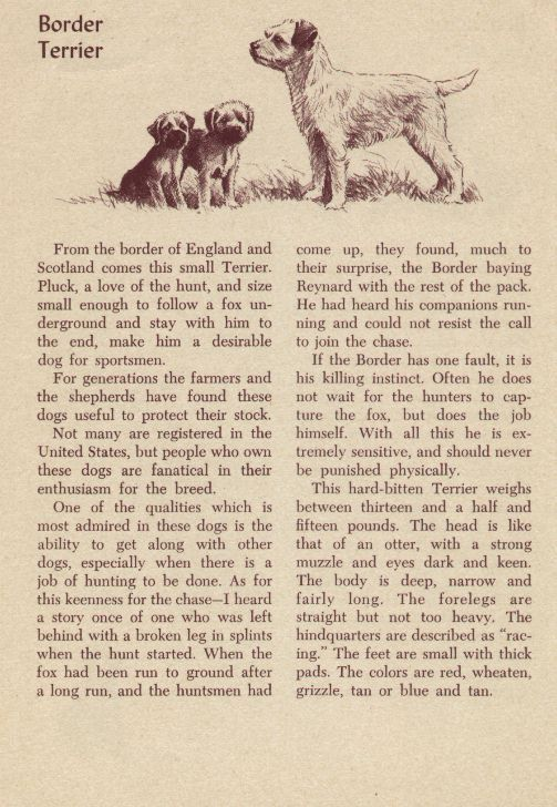 Border Terrier Breed Description - Morgan Dennis