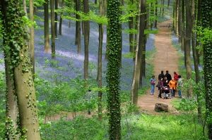 """Hallerbos """"The Blue Forest"""" , beautiful purple carpet of #bluebells which bloom around mid April. #Belgium Trip"""