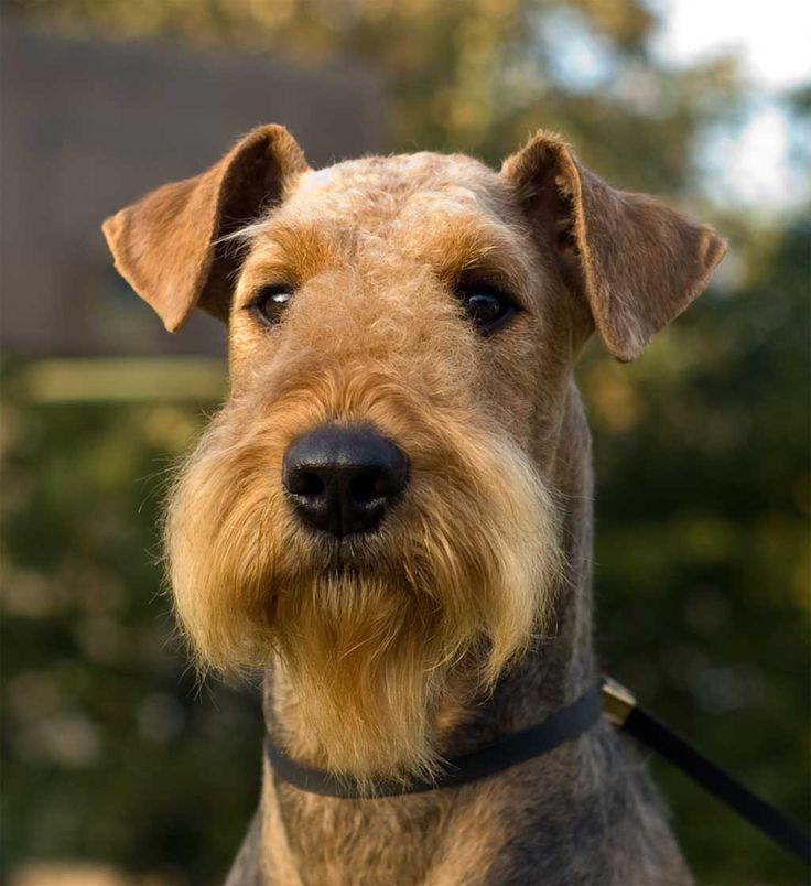 Toda la información e imágenes sobre la raza de perro terrier de Airedale. Conozca la mejor manera de cuidarlo, su alimentación, su carácter y mucho más.